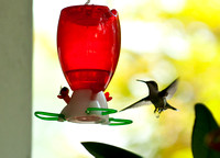 Hummingbirds-11