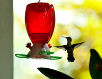 Hummingbirds-14