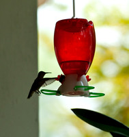Hummingbirds-6