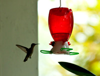 Hummingbirds-4